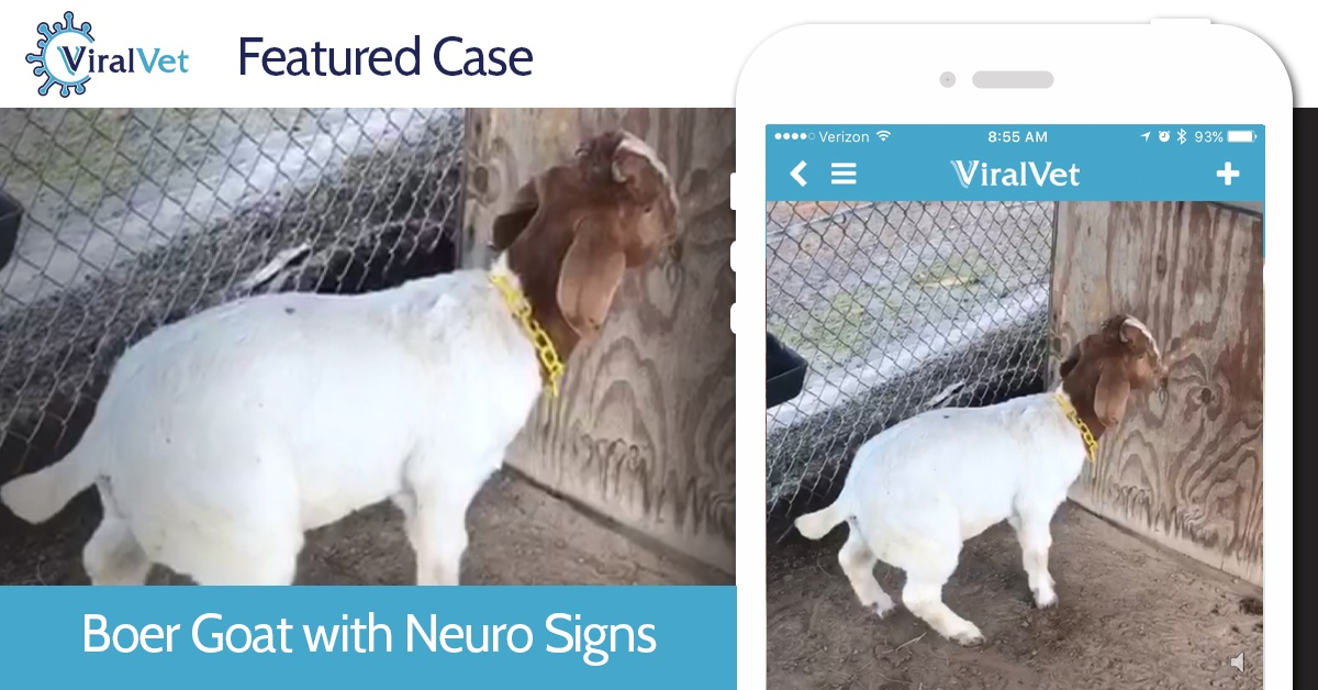 Boer-Goat-with-Neuro-Signs-.jpg